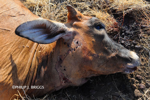 PhilipJBriggs_Nemasi-cow-kill_PBI_1030e