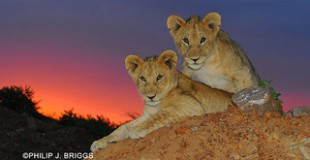 lion cubs at sunset