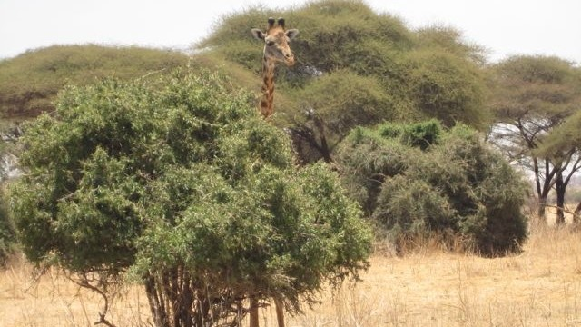 Giraffe browsing on a small tree pokes his head up to check out the Lion Guardians