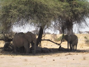 Too hot to even stand up, elephants rest in the shade of a tree