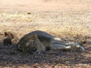 Male lion resting under a tree in Ruaha National Park